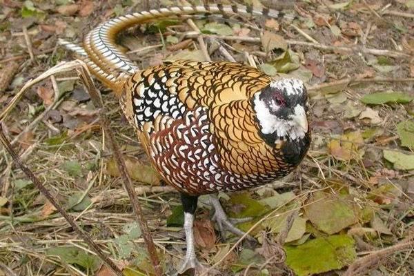 Фазан-птица-Описание-особенности-виды-образ-жизни-и-среда-обитания-фазана-6