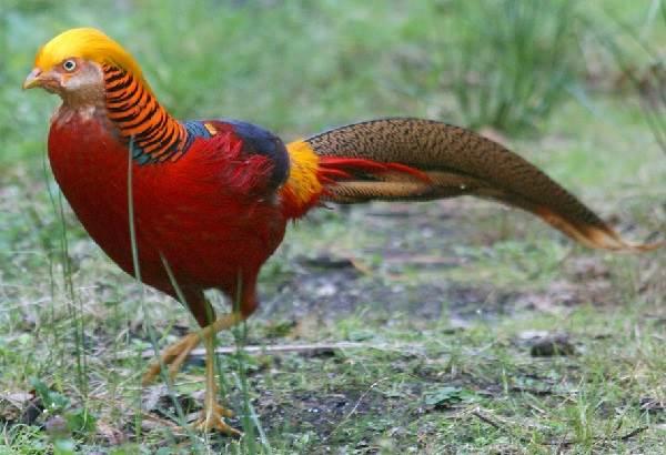Фазан-птица-Описание-особенности-виды-образ-жизни-и-среда-обитания-фазана-8