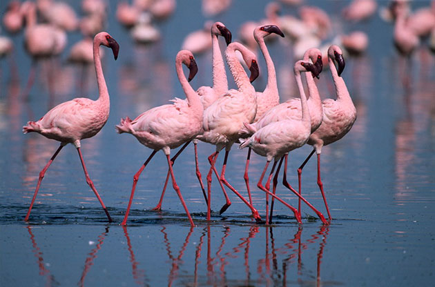 Есть подвиды фламинго, которые по сей день охраняются законом, так как ранее велась их массовое истребление