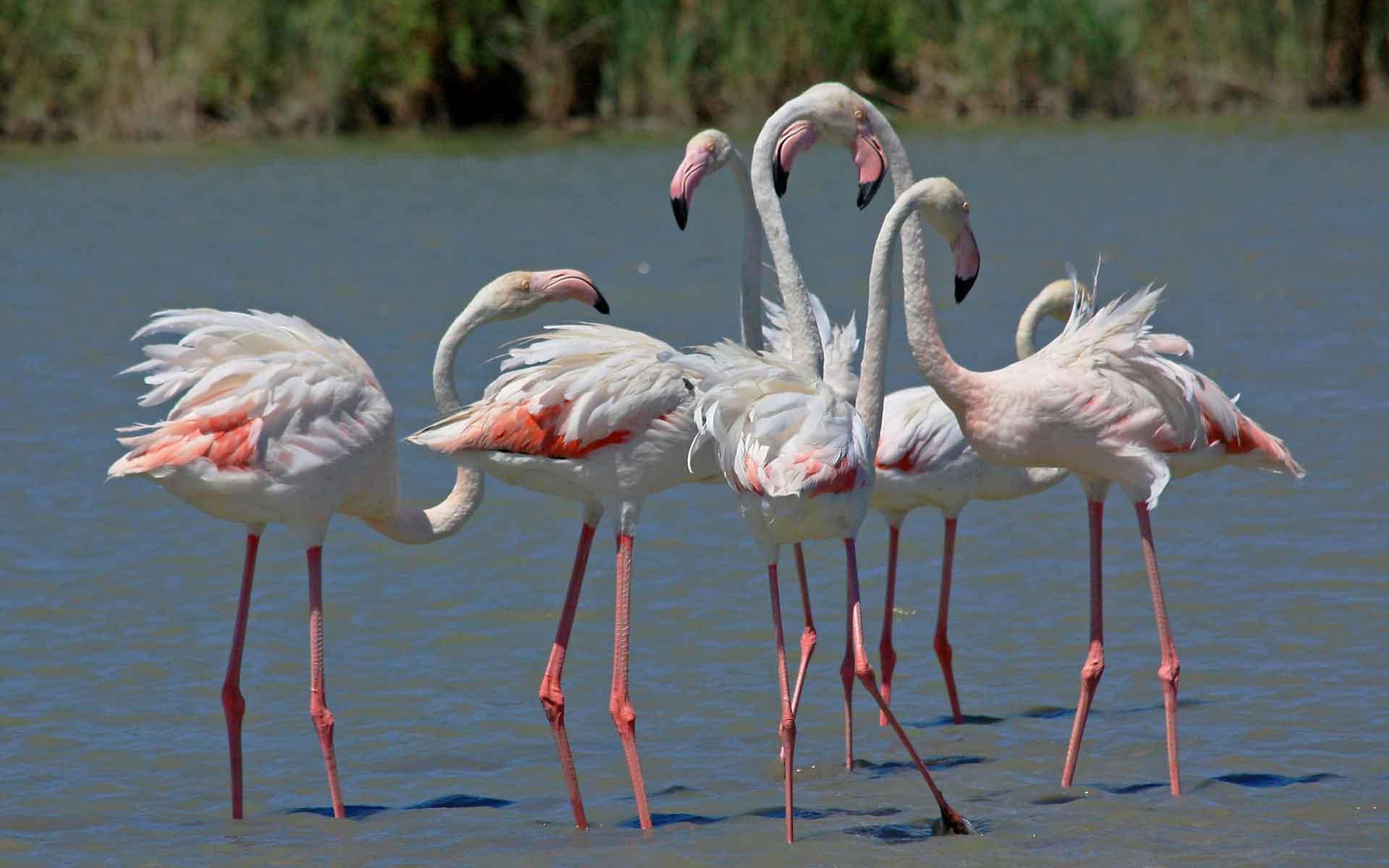 Фламинго розового цвета