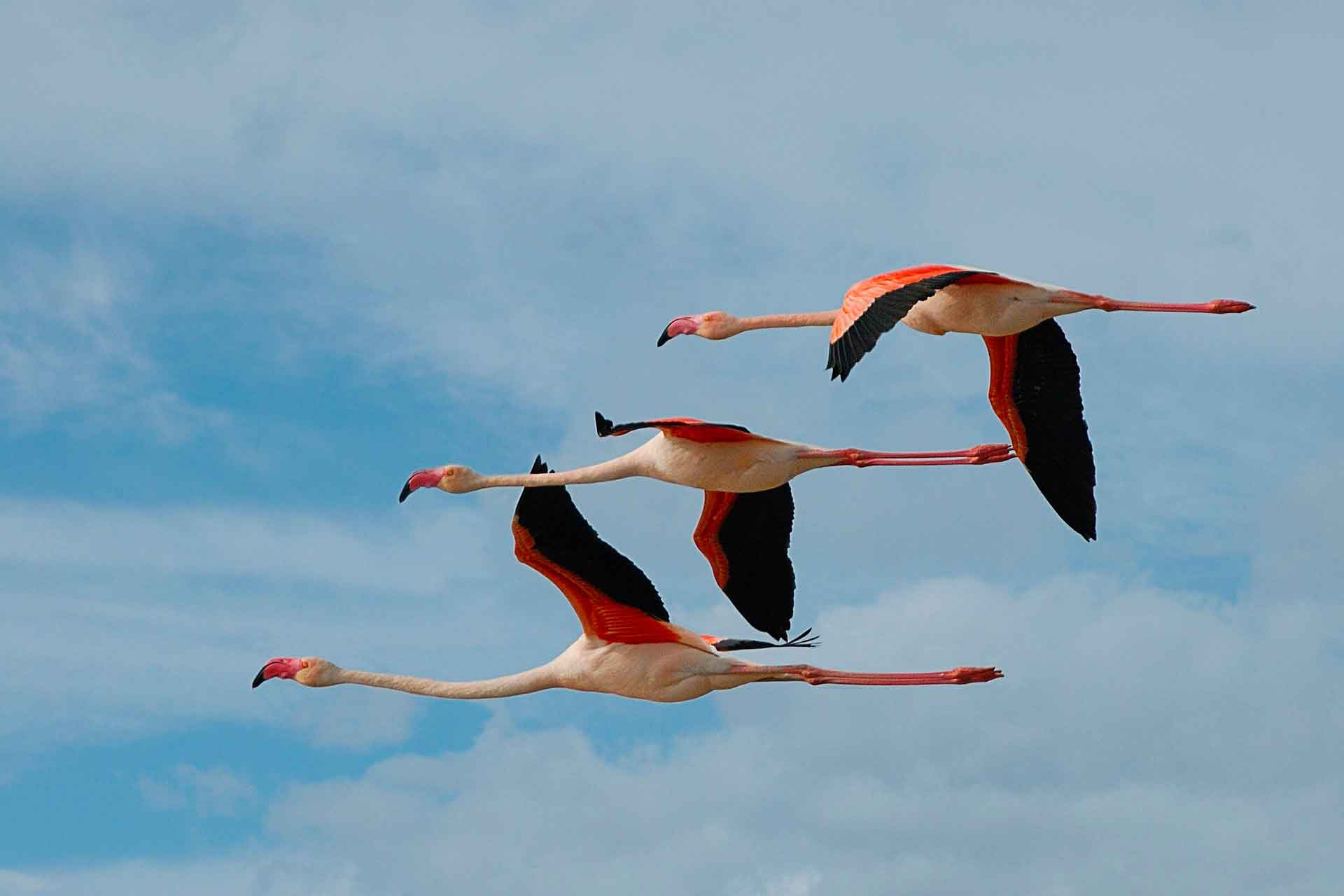 Фламинго живут стаями