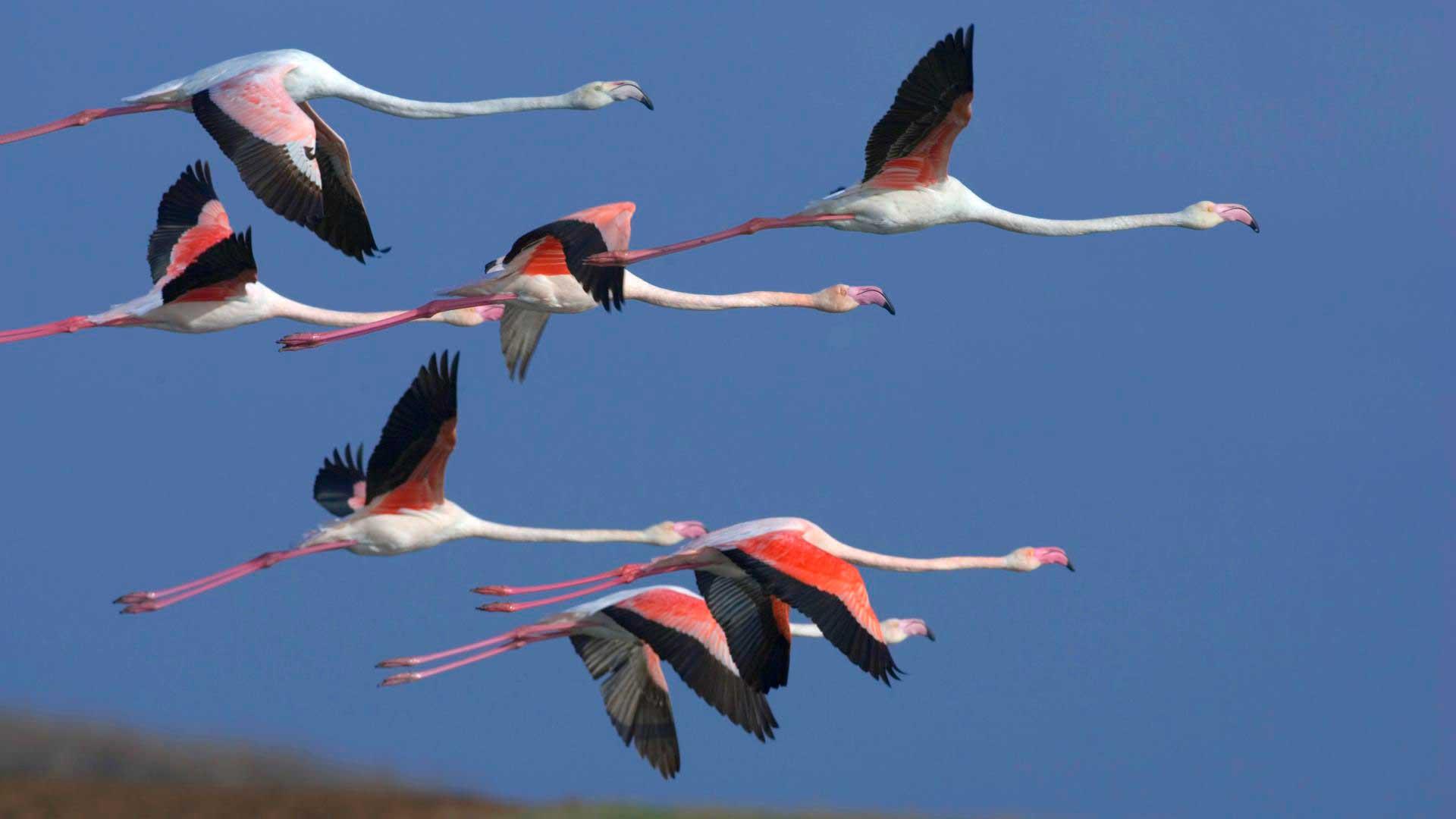 Розовый фламинго летит