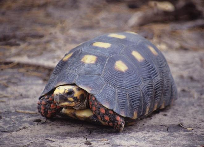 сухопутная угольная черепаха