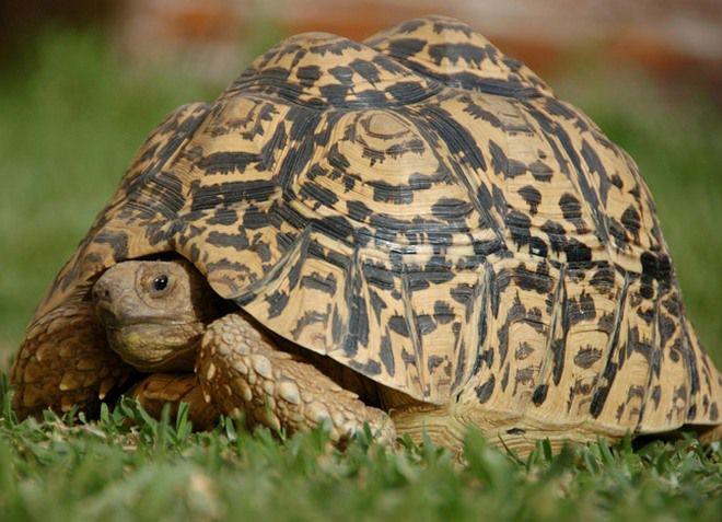 сухопутная леопардовая черепаха