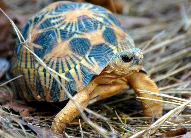 сухопутная лучистая черепаха