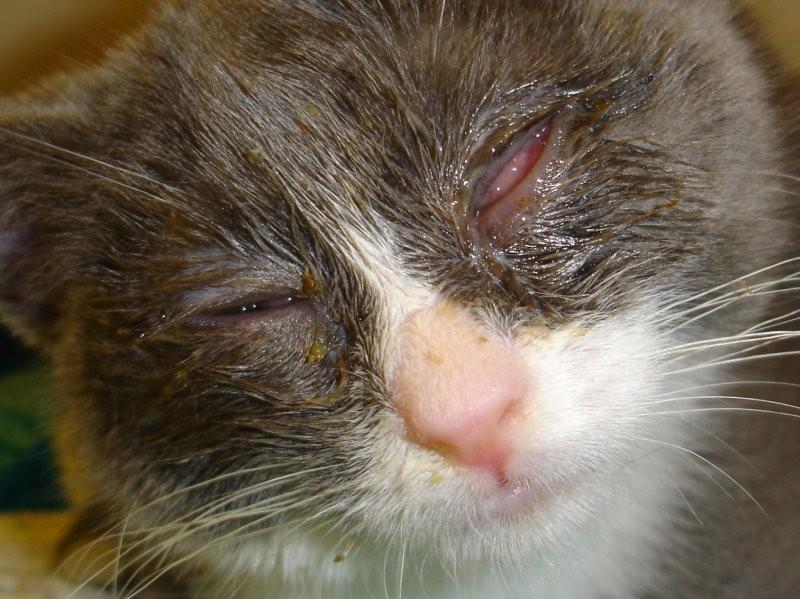 Средняя стадия кошачьего ринотрахеита