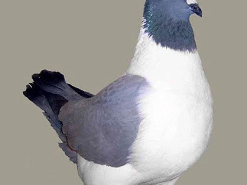 Как ведут  себя голуби в стаи
