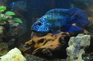 Голубые астронотусы - красивые рыбки
