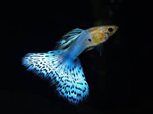 guppy_fish_2
