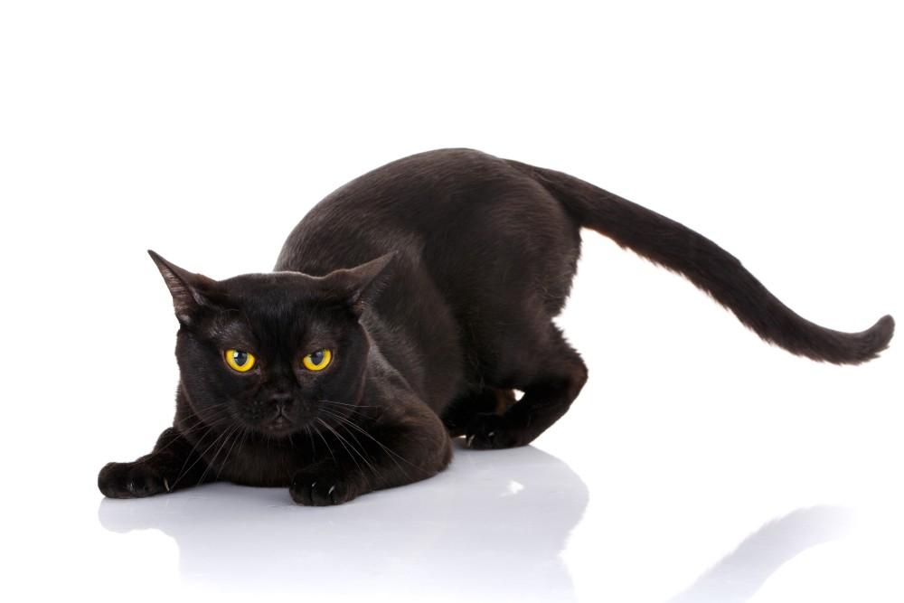 Описание анатомии кошки