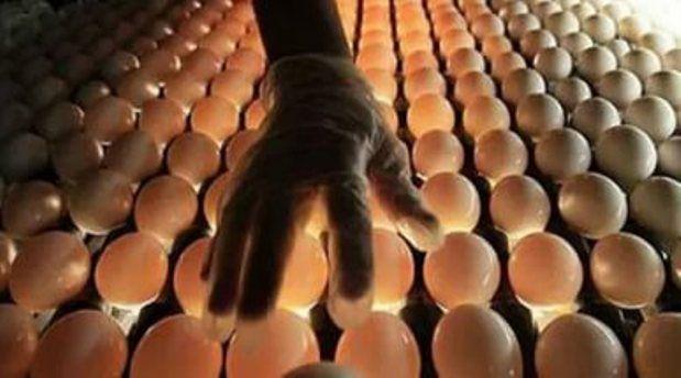Отбор куриных яиц для инкубации