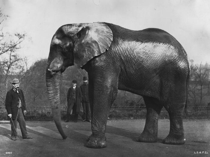 Знаменитый слон Джамбо