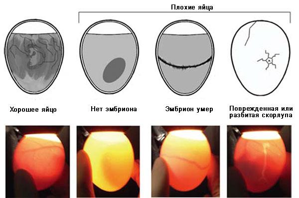 отбраковка яиц