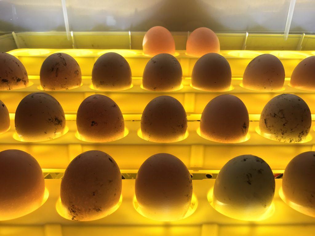 В инкубатор кладут чистые яйца для вывода цыплят