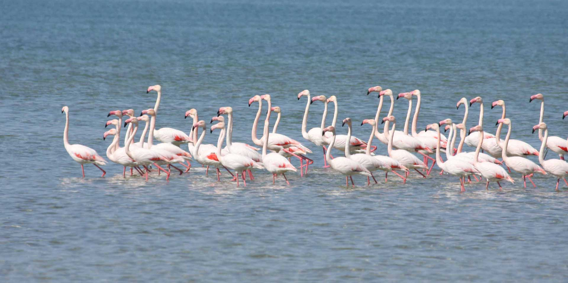 Как живет фламинго