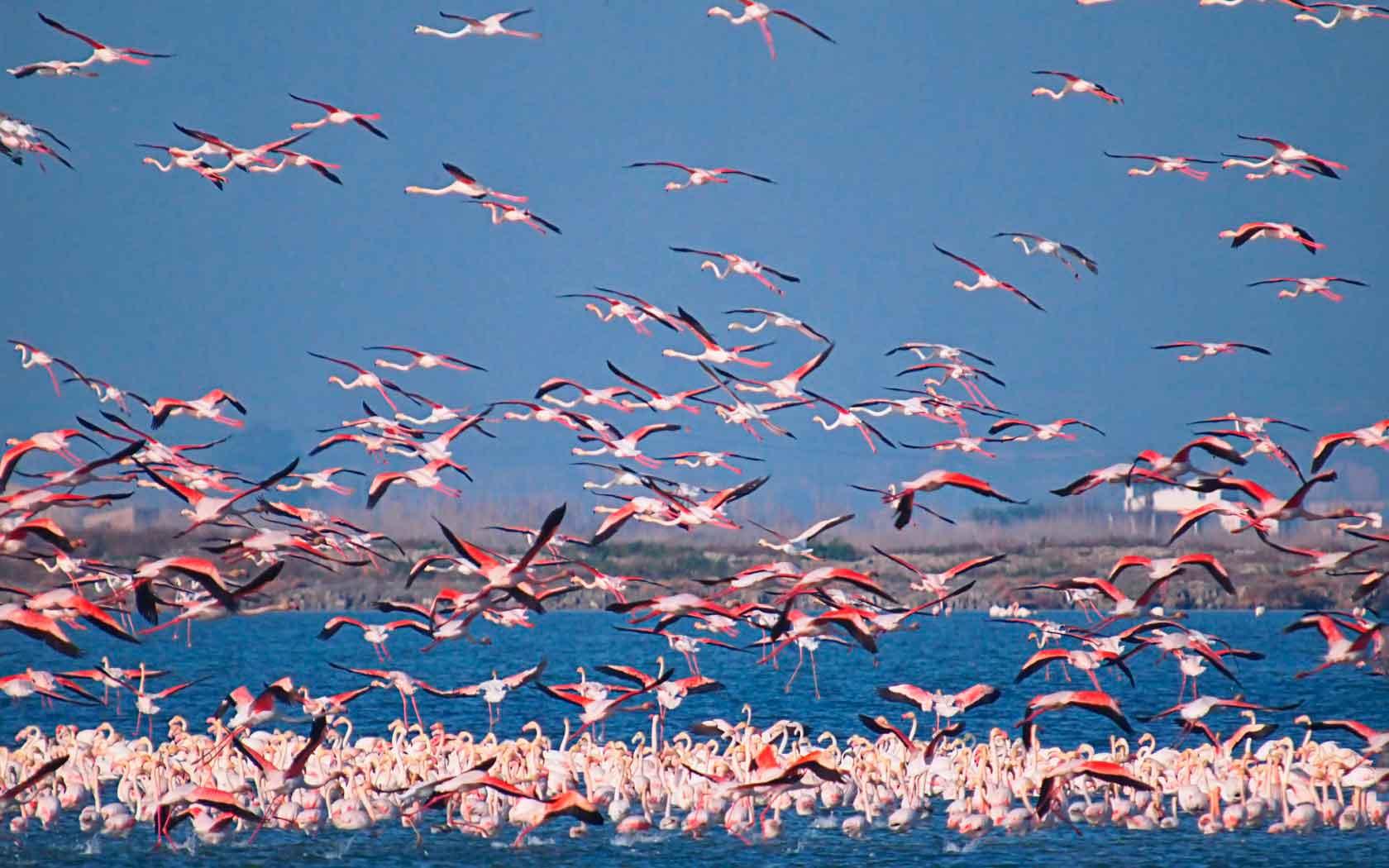Как живут фламинго
