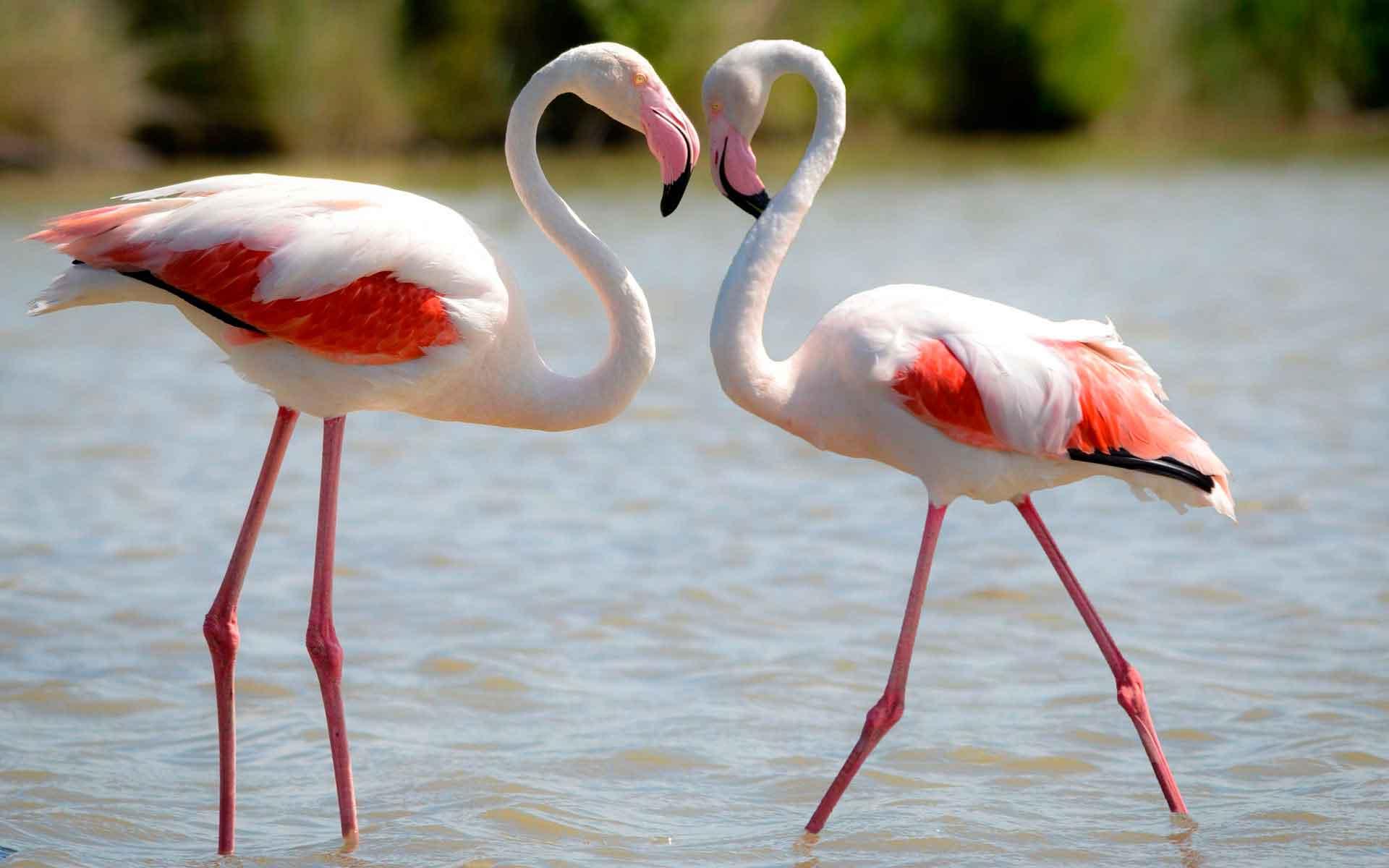 Как выглядит фламинго