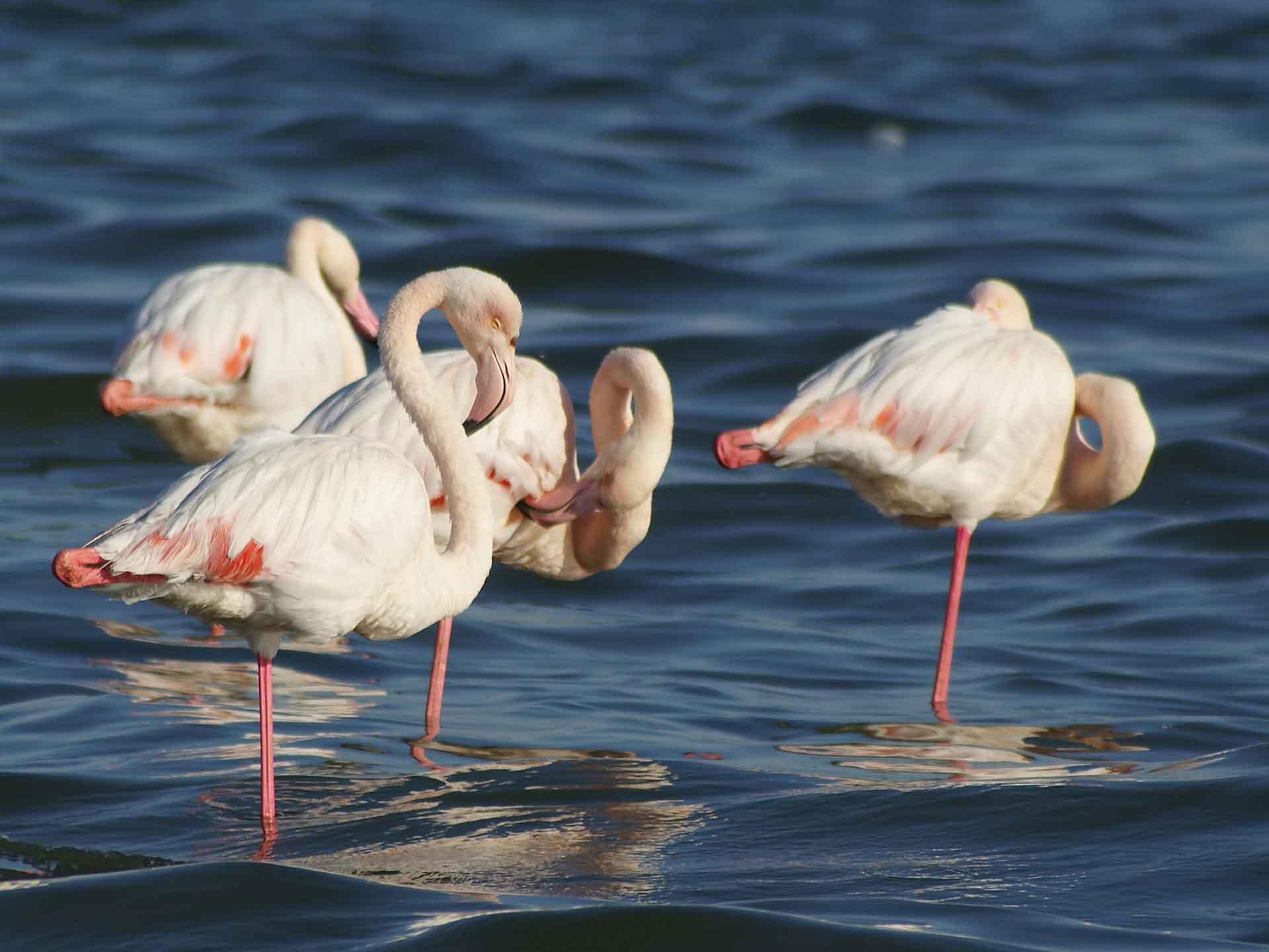 Фламинго выглядит необычно