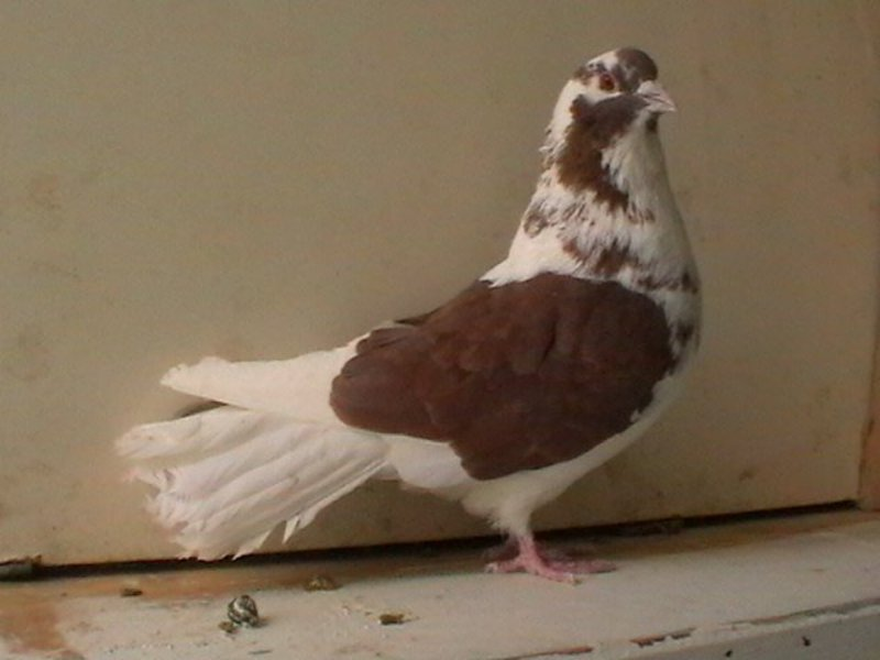 Белые и серые голуби