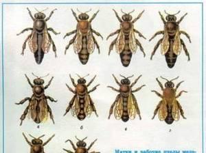 Какие есть породы пчел