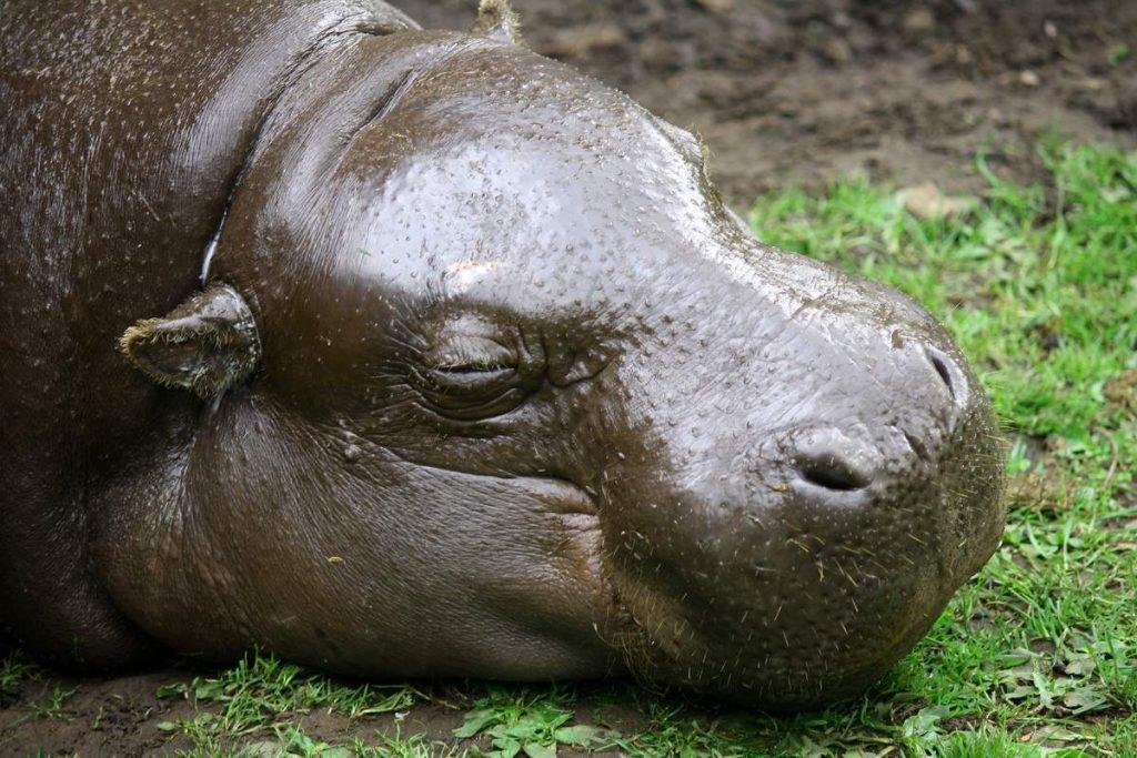 Кожа карликового бегемота очень толстая.