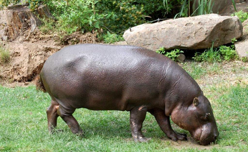 Карликовые бегемоты - травоядные животные.
