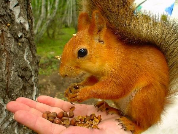 Белка ест орешки