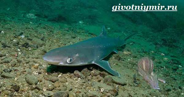Катран-акула-Образ-жизни-и-среда-обитания-акулы-катран-2