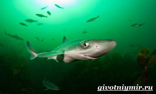 Катран-акула-Образ-жизни-и-среда-обитания-акулы-катран-7