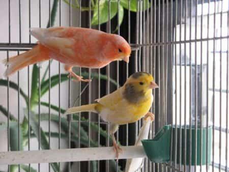 Домашние канарейки — как содержать и ухаживать за птицей