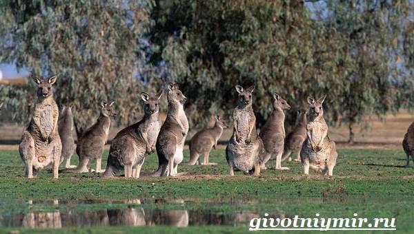 Кенгуру-животное-Образ-жизни-и-среда-обитания-кенгуру-6