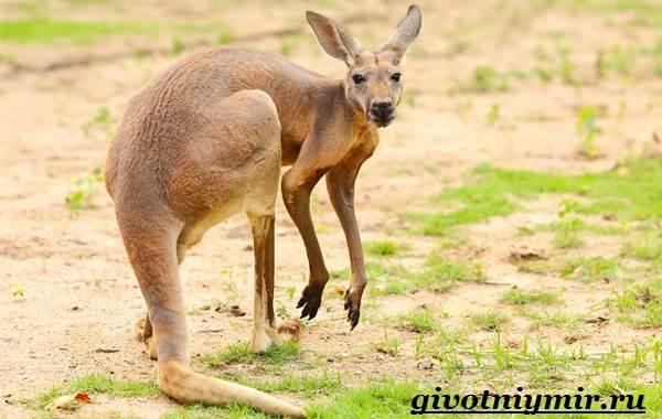 Кенгуру-животное-Образ-жизни-и-среда-обитания-кенгуру-7