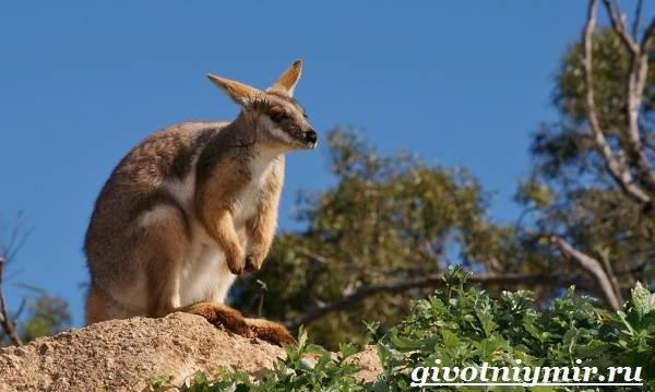 Кенгуру-животное-Образ-жизни-и-среда-обитания-кенгуру-8