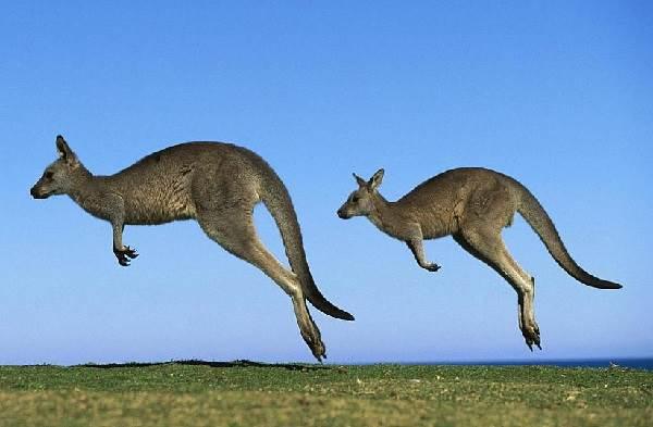 Кенгуру-животное-Описание-особенности-виды-образ-жизни-и-среда-обитания-кенгуру-2