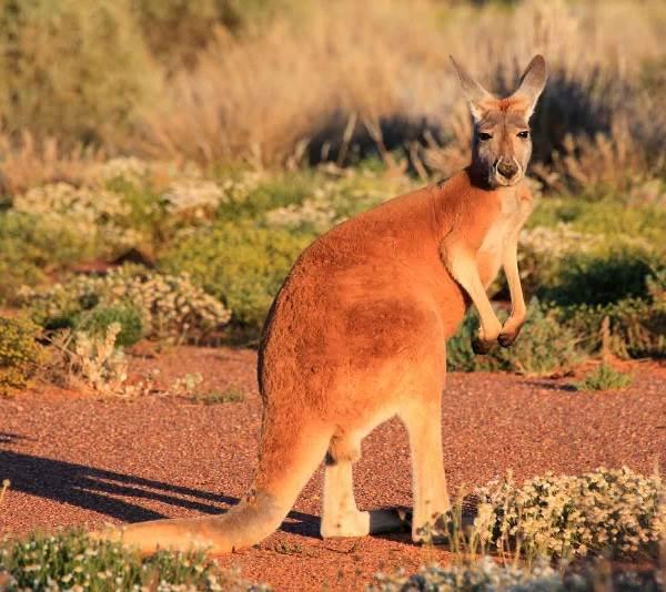 Кенгуру-животное-Описание-особенности-виды-образ-жизни-и-среда-обитания-кенгуру-3