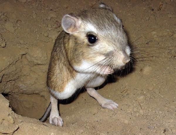 Кенгуру-животное-Описание-особенности-виды-образ-жизни-и-среда-обитания-кенгуру-6