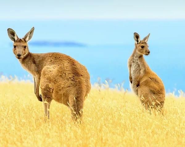 Кенгуру-животное-Описание-особенности-виды-образ-жизни-и-среда-обитания-кенгуру-8