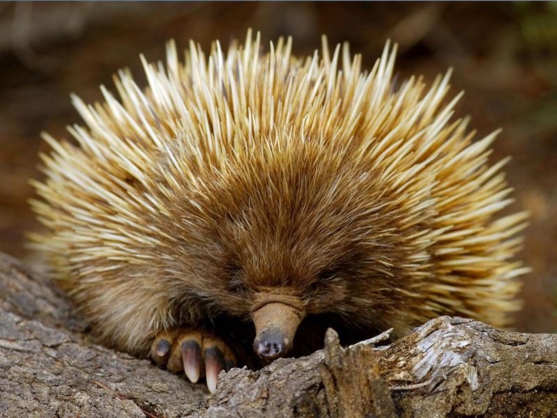 Забавное животное ехидна: описание, образ жизни в природе