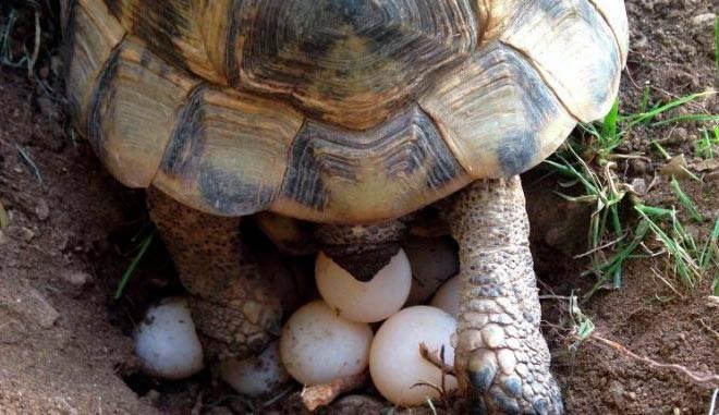 кладка черепахи