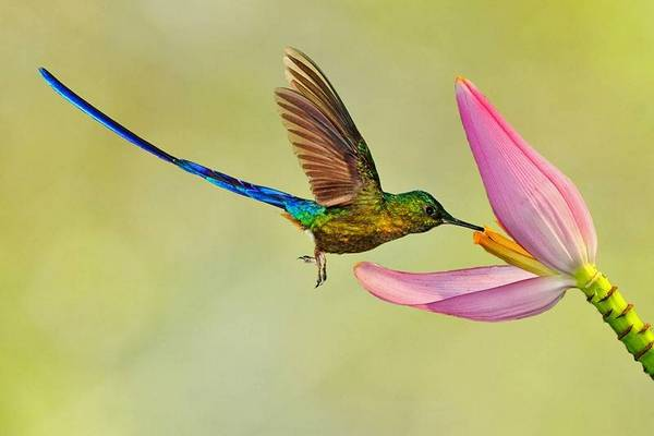 колибри добывает нектар