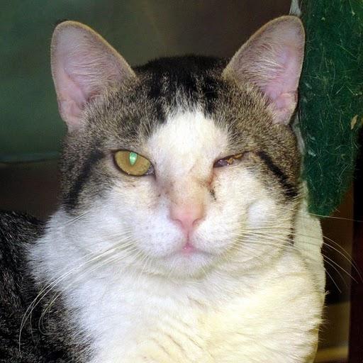 Конъюнктивит у кошки на левом глазу