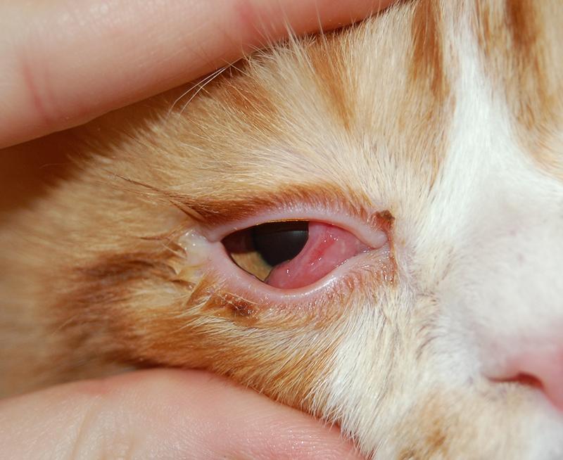 У кота слезится глаз