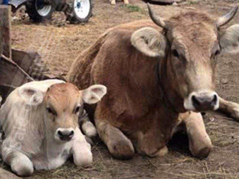 Коровы швицкой породы отдыхают фото