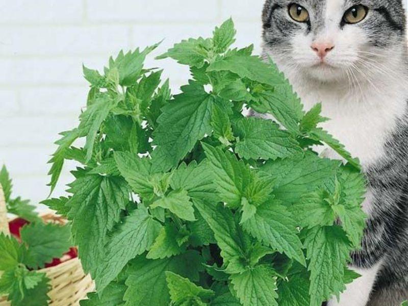 Кошачья мята для котов и кошек