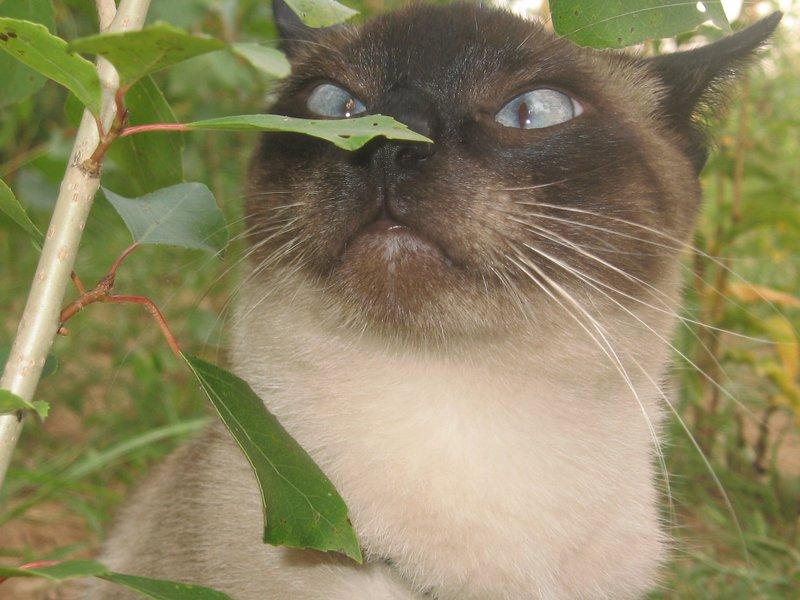 Как растет кошачья мята