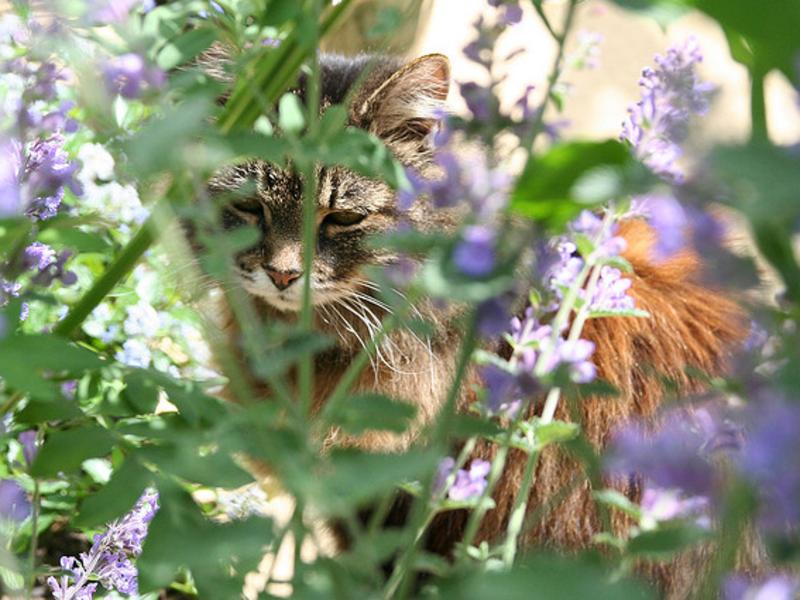 Кошачья мята для котов