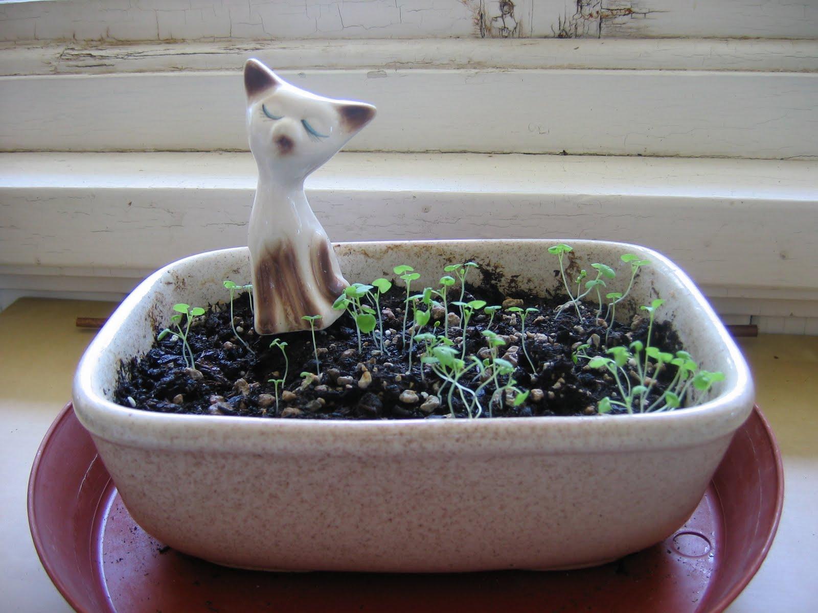 Выращиваем кошачью мяту