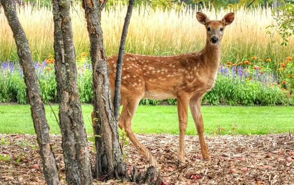 Косуля-животное-Описание-особенности-виды-образ-жизни-и-среда-обитания-косули-1