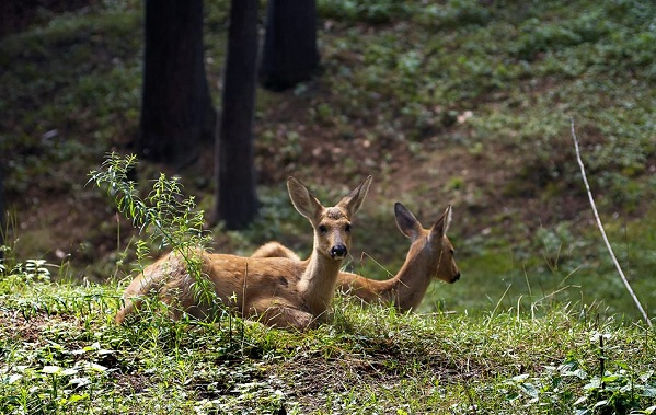 Косуля-животное-Описание-особенности-виды-образ-жизни-и-среда-обитания-косули-18