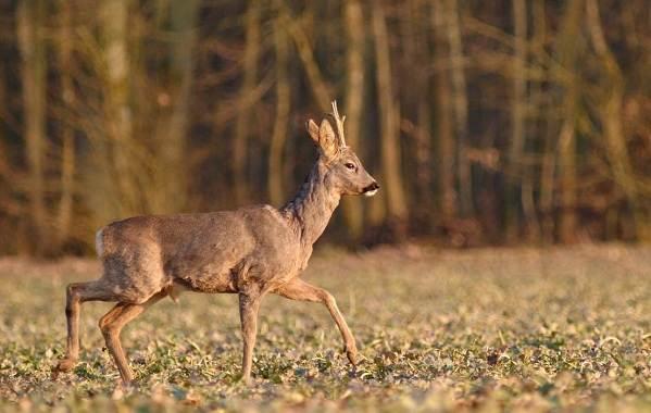 Косуля-животное-Описание-особенности-виды-образ-жизни-и-среда-обитания-косули-5